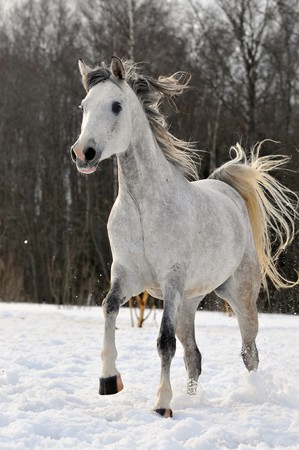Beautiful arabian horse running on the snow  photo