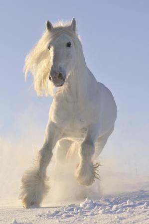 white horse run gallop in winter photo