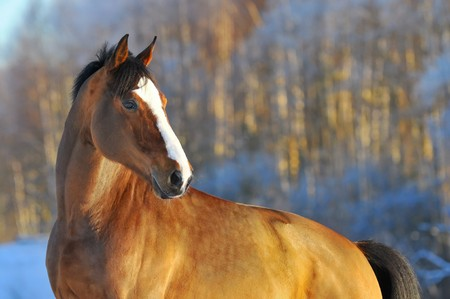 light brown horse: bay horse run gallop in winter