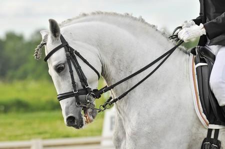 white horse dressage photo