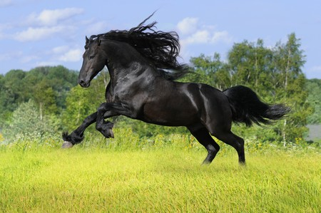 black friesian horse play on the meadow  Stock Photo