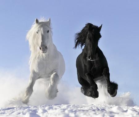 libertad: caballos blancos y negros  Foto de archivo