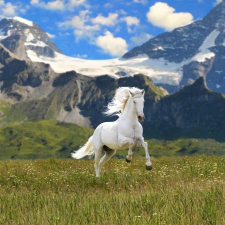 horse: caballo blanco ejecutar galope en Valle  Foto de archivo
