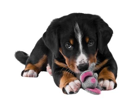 appenzeller: puppy sennenhund appenzeller and toy mous Stock Photo