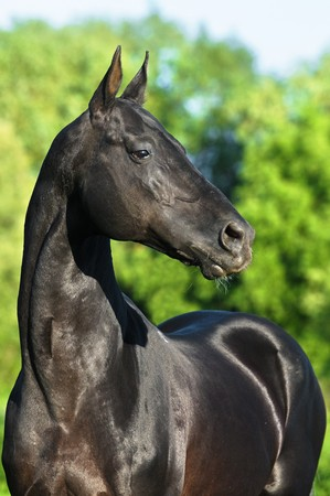 black akhal-teke horse portrait photo