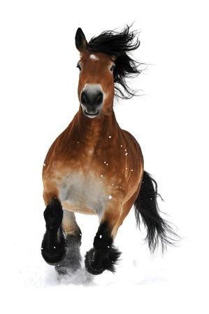 Baie de cheval exécuter galop sur la neige isolée sur blanc