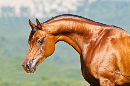 bay: bay arabian stallion portrait Stock Photo
