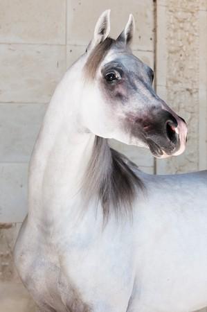 white arabian horse portrait photo