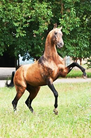bay akhal-teke horse rearing Stock Photo - 7486982
