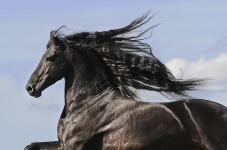 stallion: Portrait of moving friesian black horse stallion