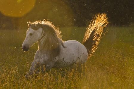 white horse stallion in golden light