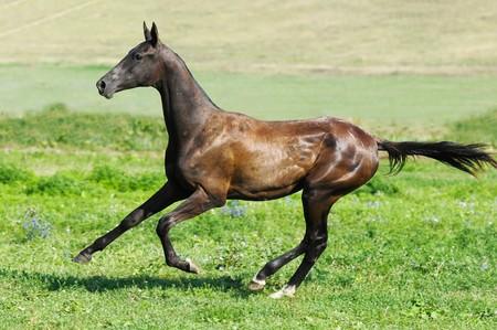 black akhal-teke young stallion run gallop photo