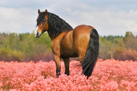 hoofed: bay stallion on the pink field