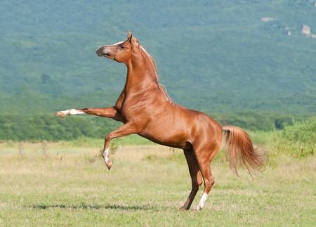 rearing: chestnut arabian stallion rearing