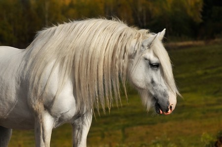 shire horse: white horse in autumn Stock Photo