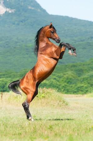 rearing: bay arabian stallion rearing