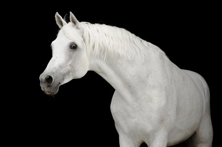 black horse: caballo de �rabe blanco sobre negro backgroud