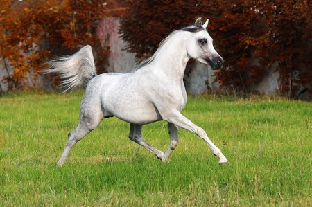black horses: white arabian horse runs trot in autumn Stock Photo