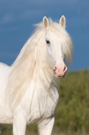 paardenhoofd: witte paard hengst en storm wolken  Stockfoto