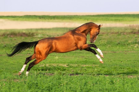 chestnut male: golden akhal-teke horse runs gallop on the meadow