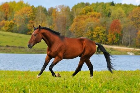 horses in field: bay horse runs gallop in autumn