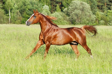 chestnut male: chestnut horse runs gallop Stock Photo