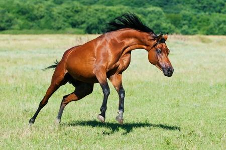 the runs: bay arabian horse stallion runs gallop