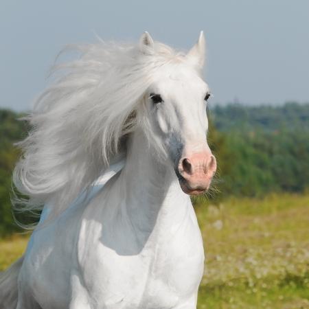 head light: white horse runs gallop