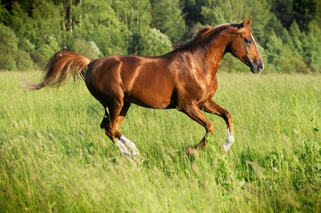 chestnut arabian stallion runs gallop in summer