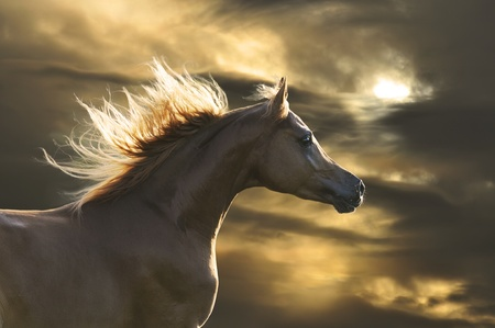 fast horse: chestnut  horse runs gallop in sunset Stock Photo