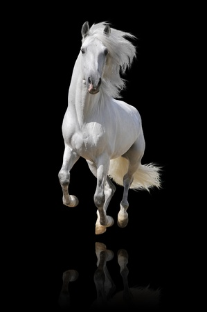 white horse isolated on black photo