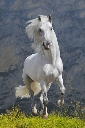 black horses: white horse runs gallop in mountain Stock Photo