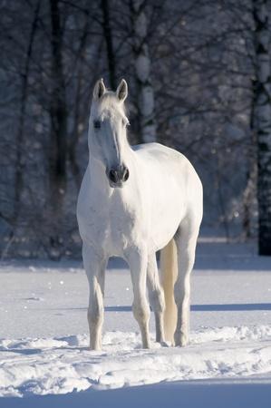 white tail: Ritratto di cavallo bianco in inverno Archivio Fotografico