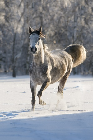 arabian white horse in winter Stock Photo