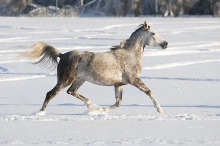 drafje: white horse draf wordt uitgevoerd in de winter Stockfoto