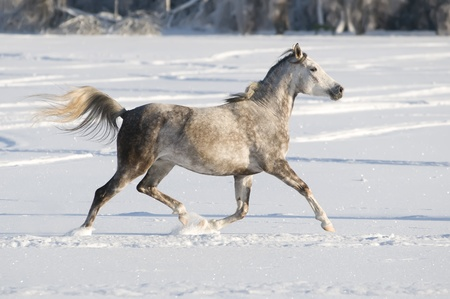white horse runs trot in winter photo