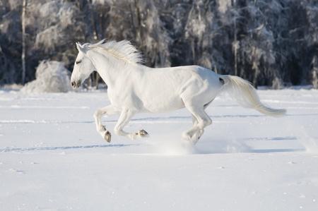 white horse runs gallop in winter Stock Photo
