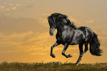 ponies: black horse runs gallop in sunset Stock Photo