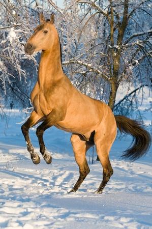 rearing: akhal-teke horse portrait in winter