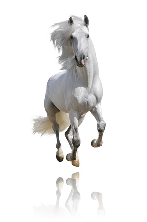 galloping: white horse isolated on white