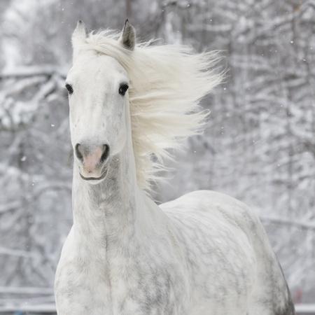 the runs: white horse runs gallop in winter Stock Photo