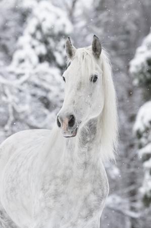 white horse portrait in winter photo