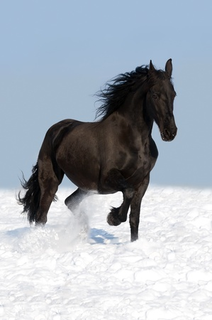 black friesian horse runs trot in winter Stock Photo