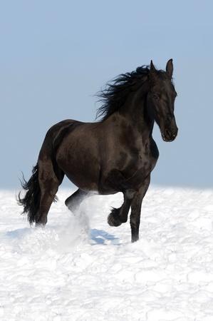 caballo frisón negro ejecuta trote en invierno