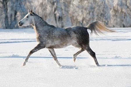 hoofed animal: blanco caballo �rabe se ejecuta trote en invierno