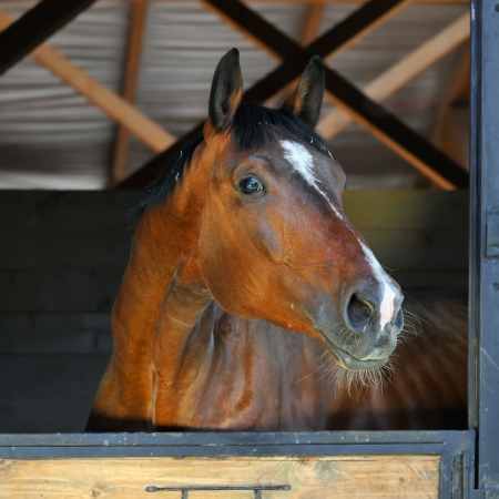 beautiful bay horse stallion in stable, day photo