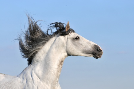 andalusian: white andalusian horse stallion on sky background Stock Photo
