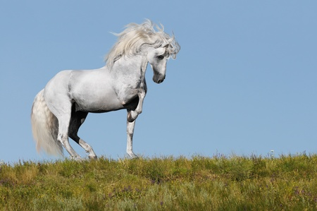 white andalusian stallion going piaffe on a grass