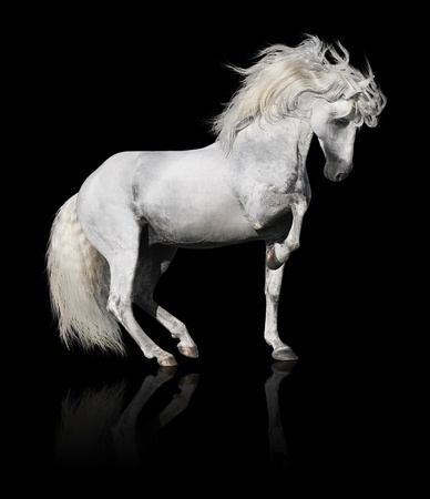 horses in field: white andalusian horse stallion isolated on black background Stock Photo