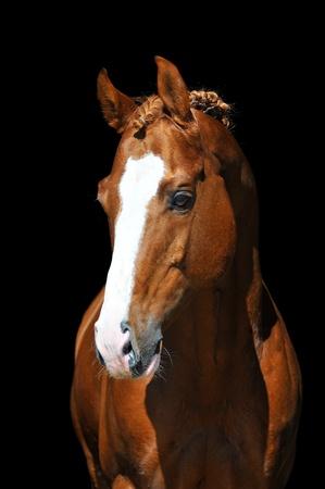 portrait of chestnut Trakehner horse on the black Stock Photo - 8797788